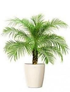 Drawf Date Palm